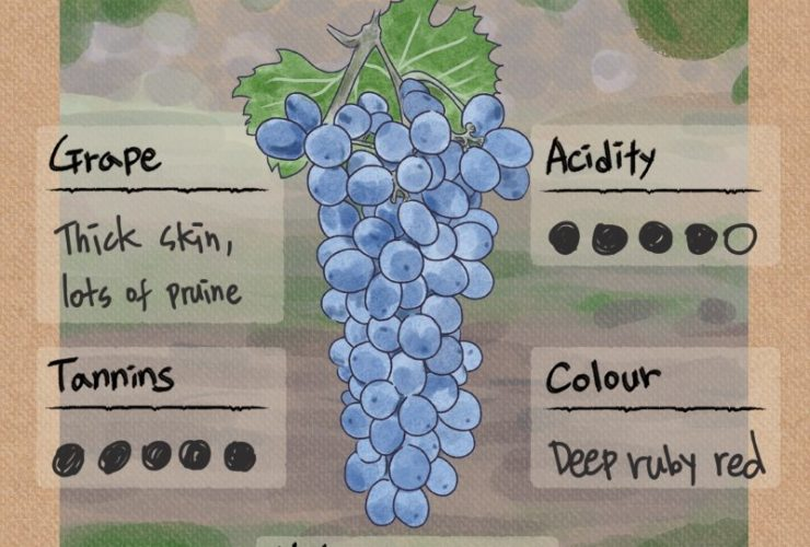 Corvina Grape Characteristics