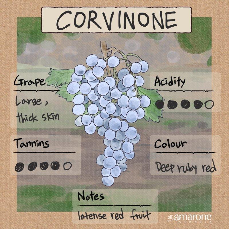 Corvinone Grape Characteristics